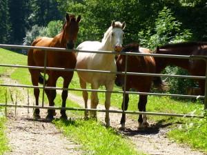 Les chevaux des Franches-Montagnes